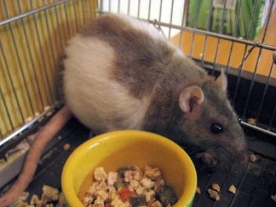 Rats - Brisbane