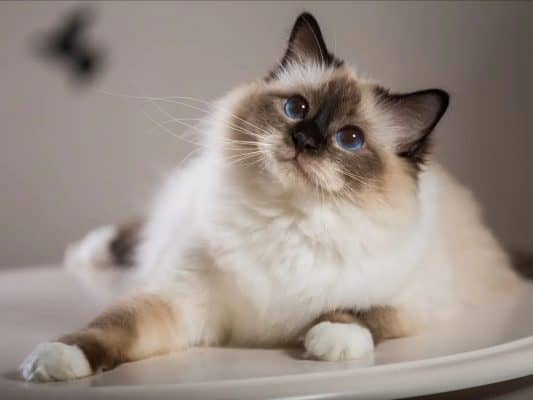 Ultimate List of the Most Popular Cat Breeds in Australia