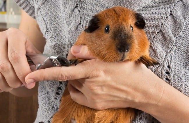 Guinea Pig Health