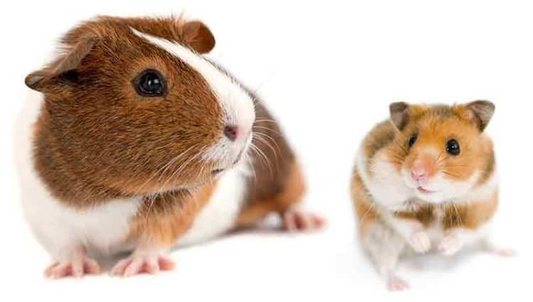 Hamster versus Guinea Pig - what's the difference