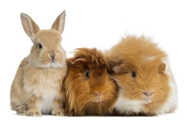 Hamsters, gerbils, rabbits and guinea pigs