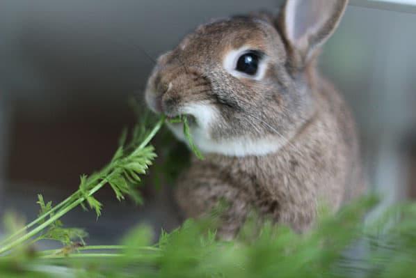 What Rabbits Eat