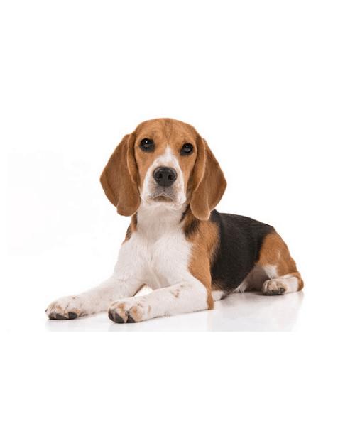 Beagle - Cute Dog Breed