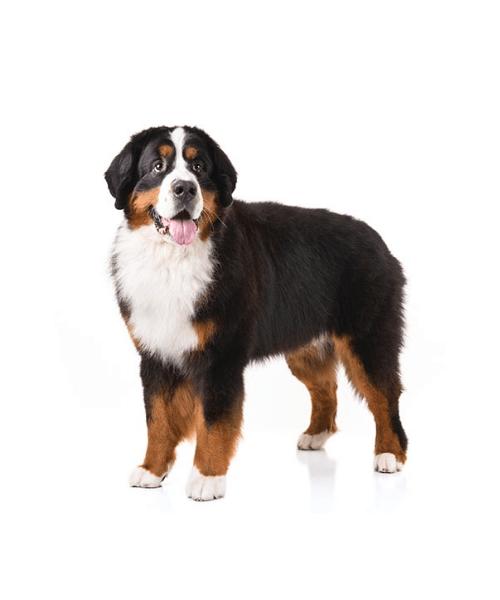 Bernese Mountain Dog - Cute Dog Breed