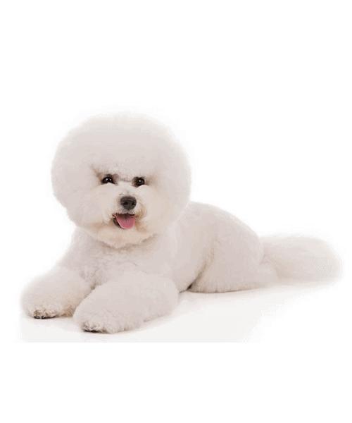 Bichon Frise - Cute Dog Breed