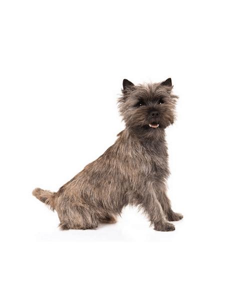 Cairn Terrier - Cute Dog Breed