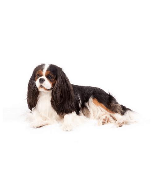 Cavalier King Charles Spaniel - Cute Dog Breed
