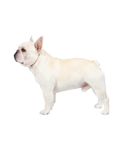 French Bulldog - Cute Dog Breed