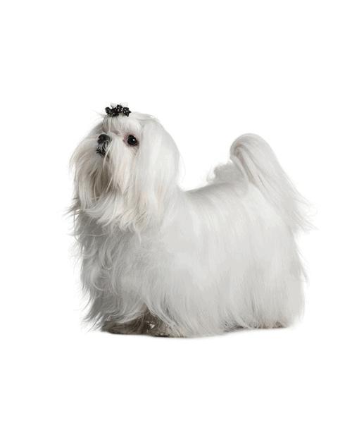 Maltese - Cute Dog Breed