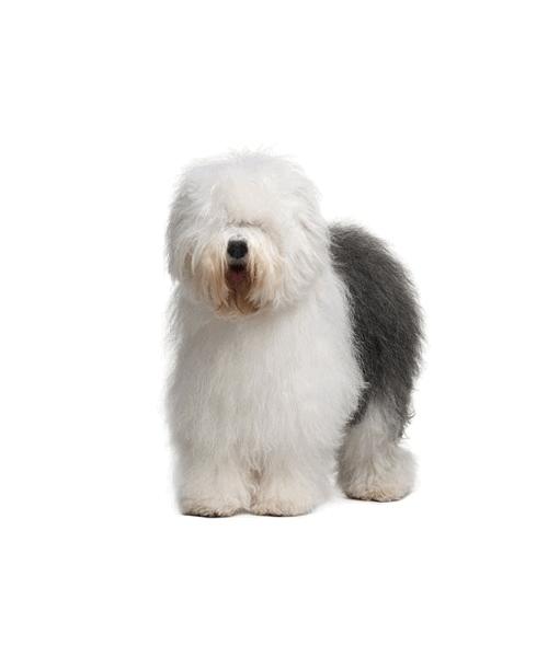 Old English Sheepdog - Cute Dog Breed