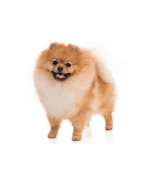 Pomeranian - Cute Dog Breed