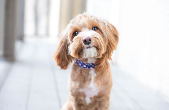 Cavoodles are a cross between a Cavalier King Charles Spaniel and a miniature Poodle