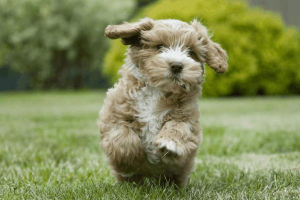 Spoodle Dog Breed