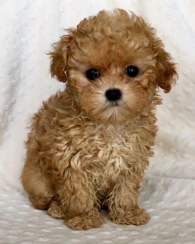 Teacup Maltipoo Puppies