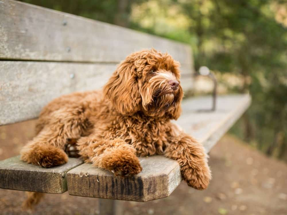 The labradoodle is a cross between a labrador retriever and a poodle