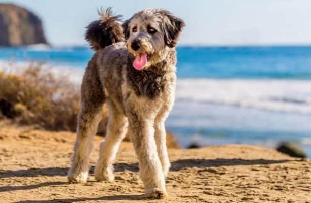 Aussiedoodle Dog Breeds