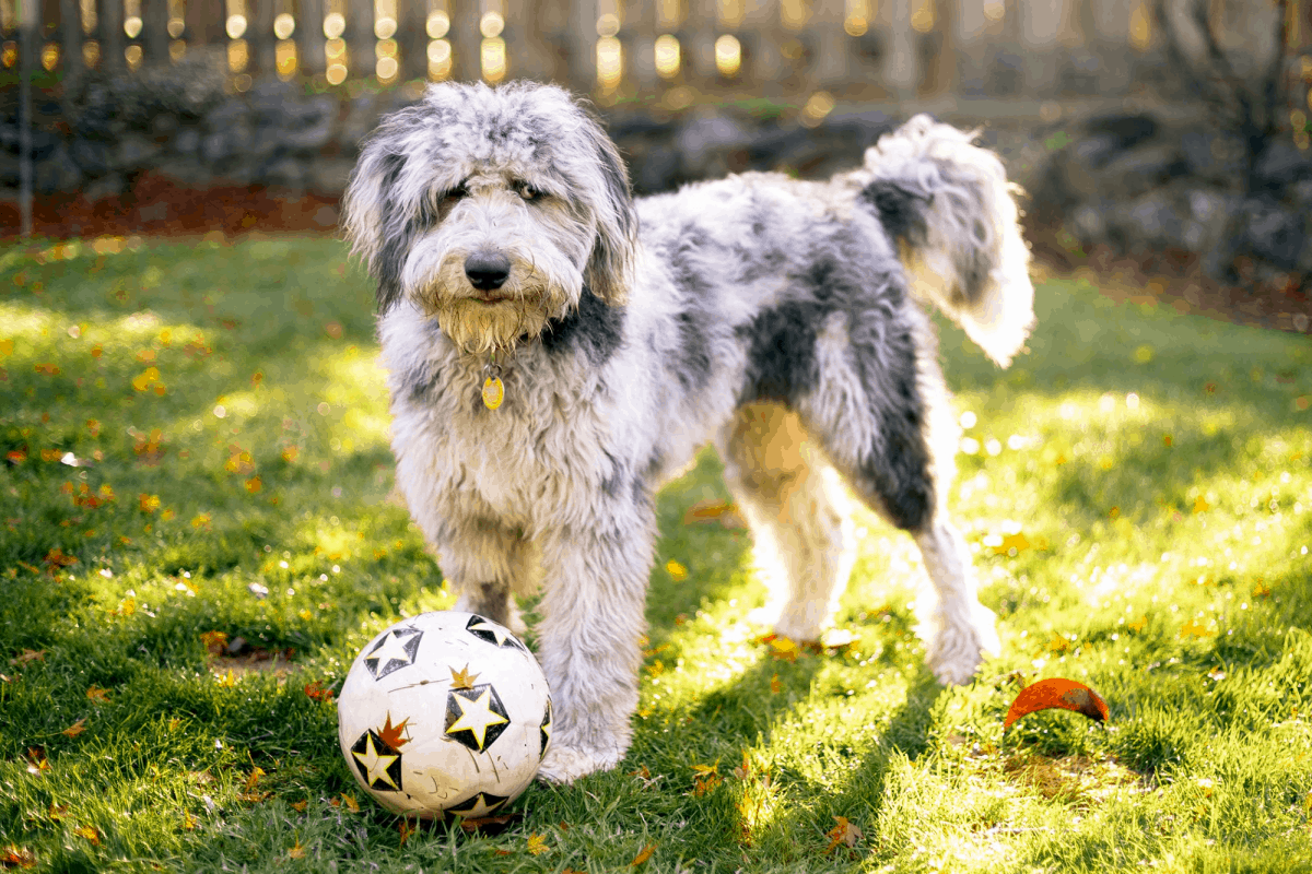 Aussiedoodle - A Mixed Dog Breed