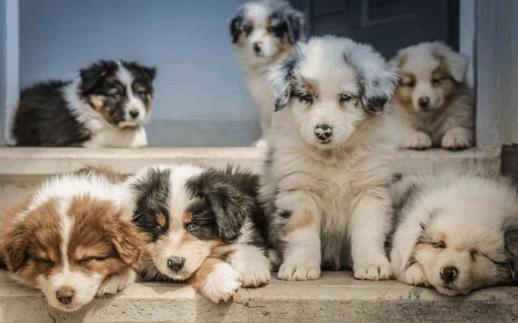 Aussiedoodles As Pets