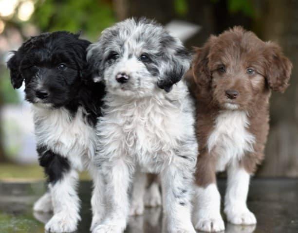 Border Collie cross Poodle
