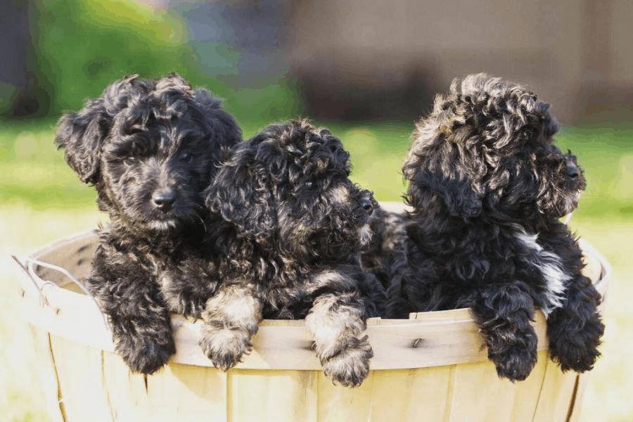 Do Bordoodles Bark Much?