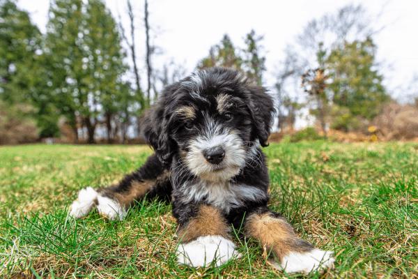Bernedoodle Dog Guide